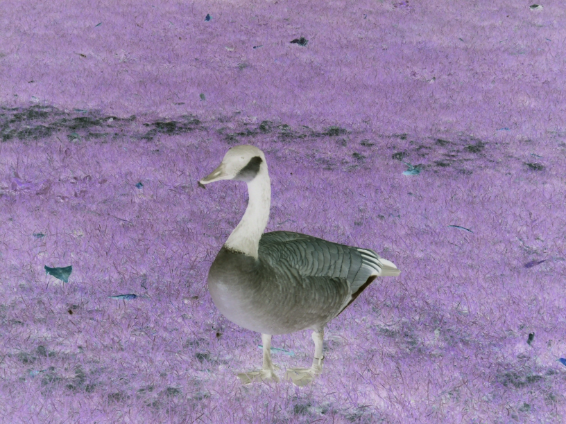 sdl2-negative-goose-negative